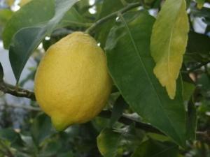 monica's lavender cottage garden lemon