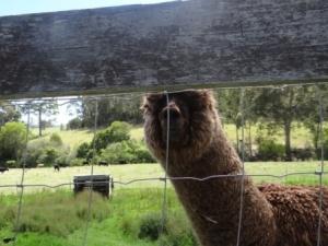 bodalla dairy shed alpaca