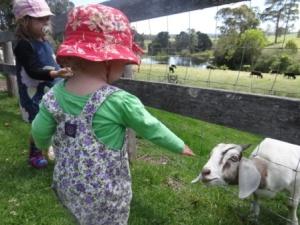 bodalla dairy shed feeding goat