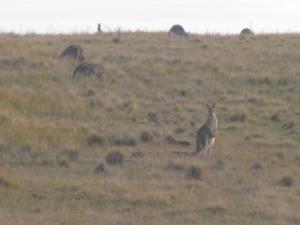 kangaroos off bingie road